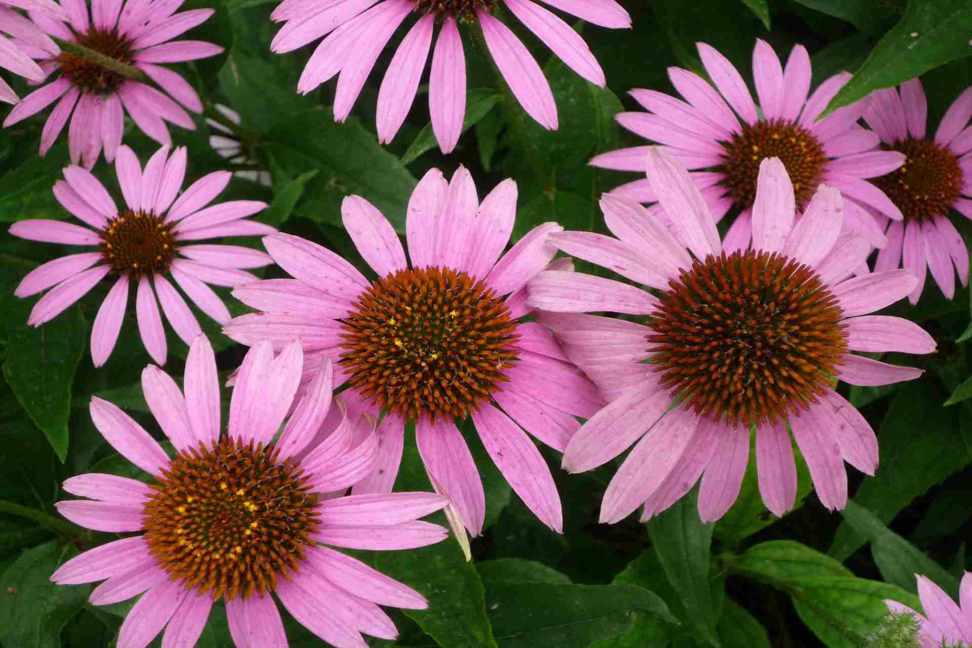 health Benefits of Echinacea Tea