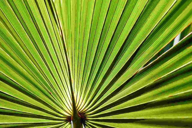 Health Benefits of Saw Palmetto