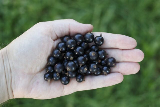 health benefits of black currant